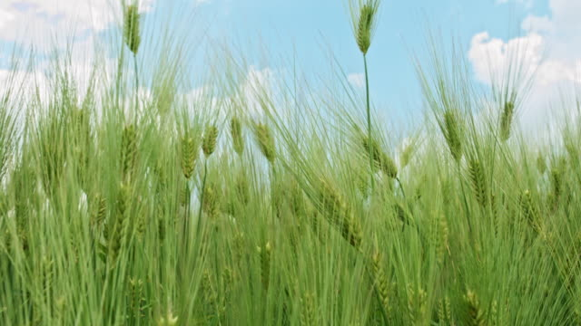 Wheat field waves moved by wind video