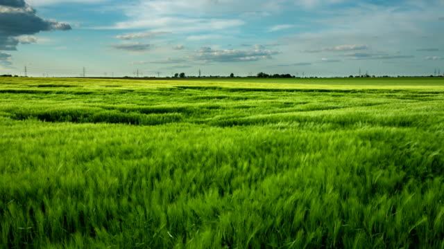 Wheat Field Wind