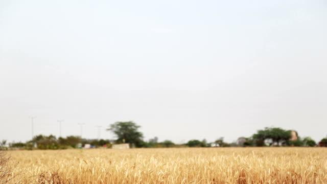 小麦のフィールドをコピースペースに高速道路 - ハリヤナ州点の映像素材/bロール
