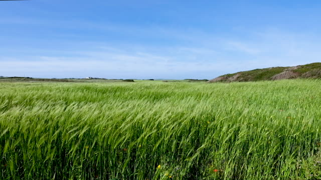 wheat field with gusts of wind, sardinia, italy - sardegna video stock e b–roll