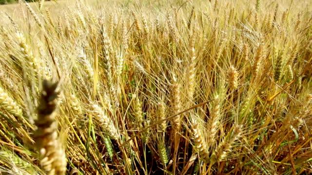 小麦のフィールドで夏 - 熟していない点の映像素材/bロール