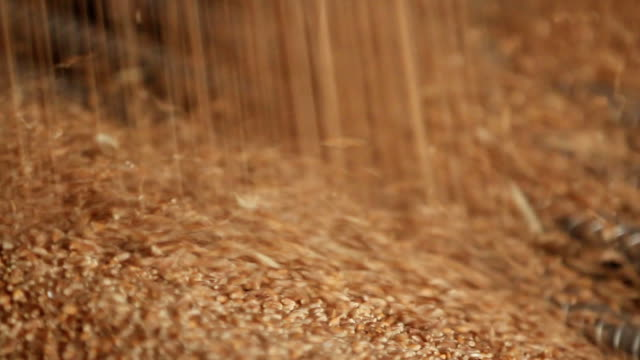 wheat grain close-up - семя стоковые видео и кадры b-roll
