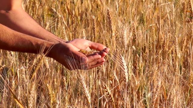 vídeos y material grabado en eventos de stock de granos de trigo en un agricultor manos - brazo humano