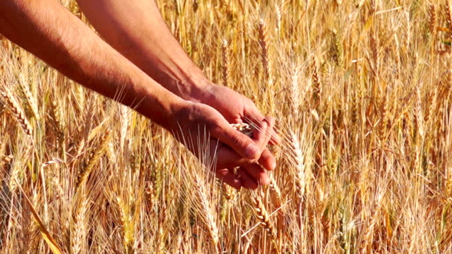 cereali di grano in un agricoltore le mani. - arto umano video stock e b–roll