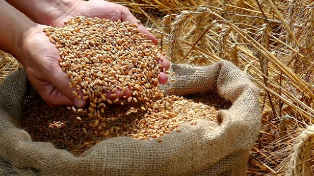 Wheat grain of successful farmer Wheat grain in a hand after good harvest of successful farmer, slow motion handful stock videos & royalty-free footage