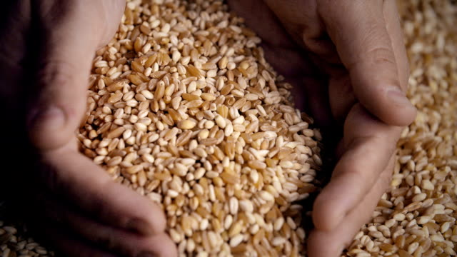 Wheat Grains in Hands video