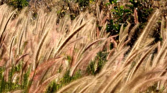 小麦草が風に吹かれて - ふわふわ点の映像素材/bロール