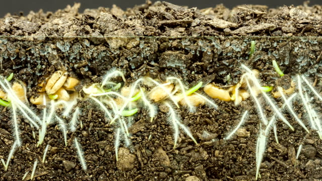 Wheat growing from seed timelapse video
