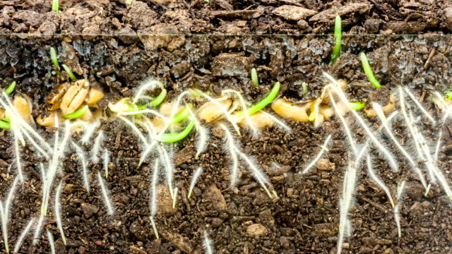 wheat growing from seed timelapse - клубень стоковые видео и кадры b-roll