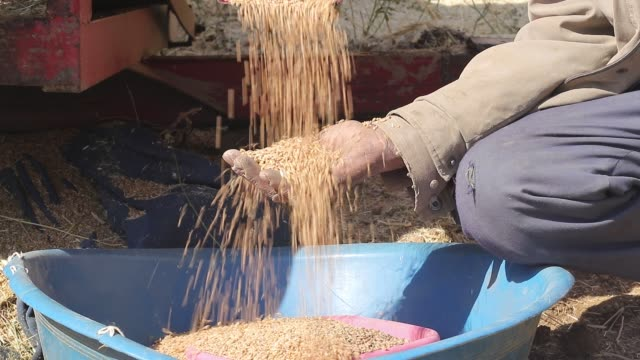Wheat Harvesting with Old Method and Farmer's Hands With Wheat Grains Farmer's Hands With Wheat Grains handful stock videos & royalty-free footage