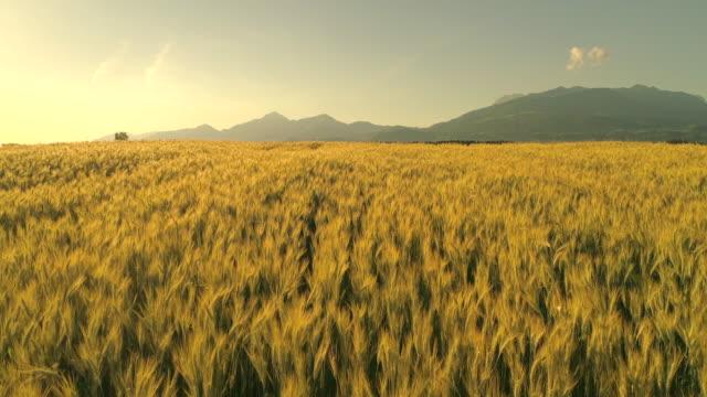 SLOW MOTION: Wheat heads on field under tall mountain swinging in summer breeze