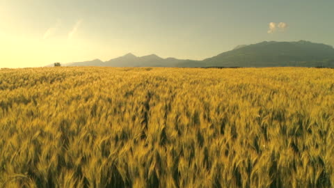 SLOW MOTION: Wheat heads on field under tall mountain swinging in summer breeze SLOW MOTION CLOSE UP: Golden wheat field swinging in light summer breeze on gorgeous sunny evening in Slovenia. Yellow wheat field under mountain swaying in the wind in beautiful countryside at dawn agricultural field stock videos & royalty-free footage
