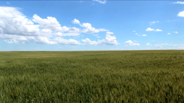 Wheat hill Wheat field on the side of a hill waves in the wind. HD grass area stock videos & royalty-free footage