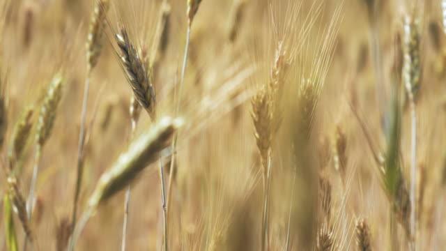 rüzgarlı bir gün alanda buğday - çavdar stok videoları ve detay görüntü çekimi