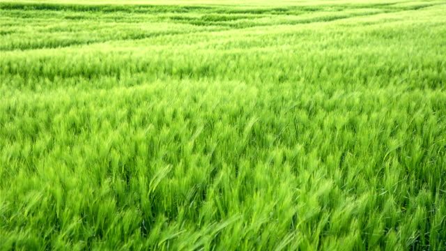 Wheat in the Breeze Wheat waving in the wind  grass area stock videos & royalty-free footage