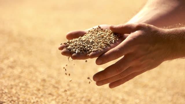 Weizen in der Hand des Menschen. – Video