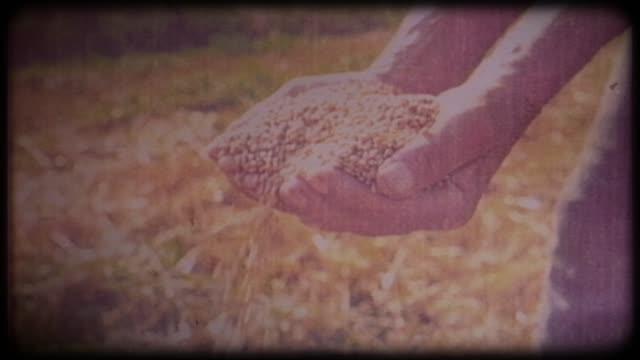 wheat in the hands of a farmer. archival video, vintage, retro. - attività agricola video stock e b–roll
