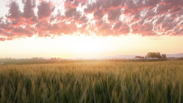 Wheat, irrigation, dusk landscape video