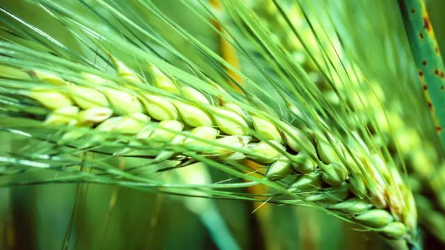 Wheat lightend on sunny day, motion on slight wind video
