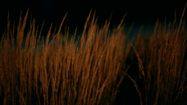 Wheat, Night, City Wheat in Krakow. Night. Lights in background. Locked down. Close shot. focus on foreground stock videos & royalty-free footage