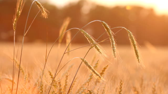 Wheat on breeze - countryside landscape background video