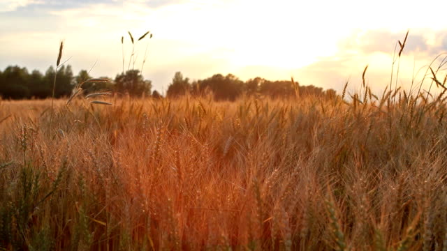 Wheat on breeze panning - countryside field background video
