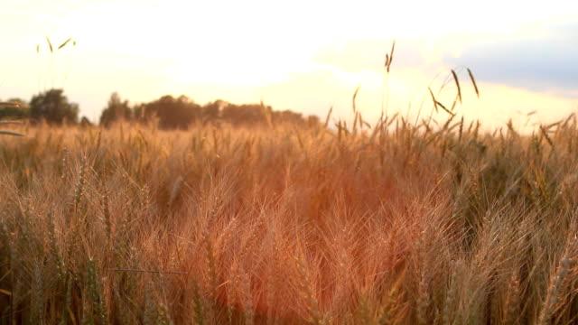 Wheat on breeze, sunset sky - countryside landscape background video