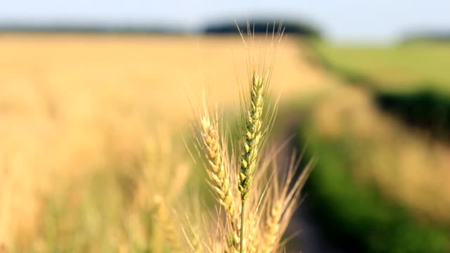 Wheat on wind - follow focus from spikelets to field video