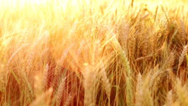 Wheat on wind HD video: wheat or barley field back lit with sunset light; lens flare, vivid colors, selective focus; saturated color stock videos & royalty-free footage