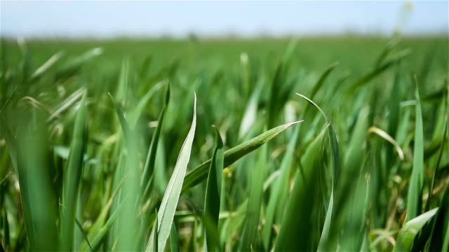 Wheat or barley sprouts close up with blue sky in background in slow motion Wheat or barley sprouts close up with blue sky in background in slow motion. Green crops in spring rye grain stock videos & royalty-free footage