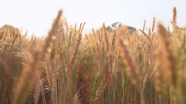 Wheat plants moving by wind in sunset(Slow motion)