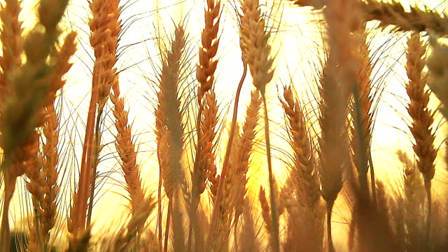 HD: Wheat plants moving by wind in sunset(Slow motion) Wheat plants moving by wind in sunset (Slow motion) wheat stock videos & royalty-free footage