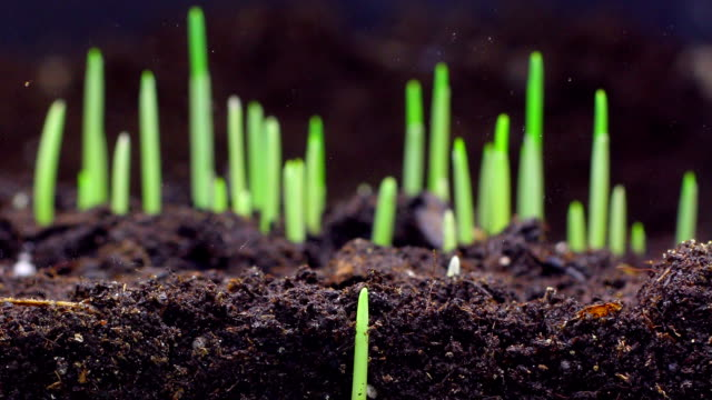 Wheat seeds growing underground video