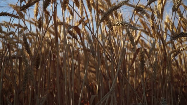 Wheat shoot from down video