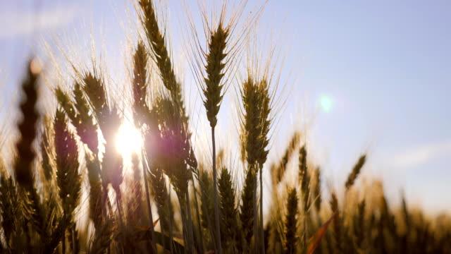 buğday sivri, günbatımı, ağır çekim - çavdar stok videoları ve detay görüntü çekimi