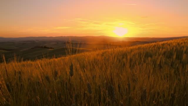 SLO MO Wheat stalks at sunset video