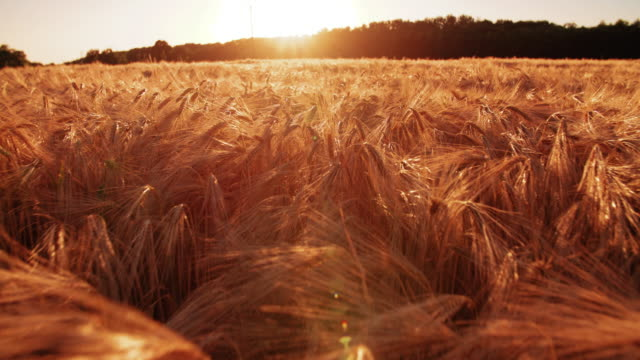 Wheat stalks catching golden rays of the sunset video