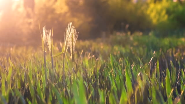 Trigo tallos palillo hacia fuera de campo y movimiento por el viento en llamaradas de luz puesta del sol de primavera noche - vídeo