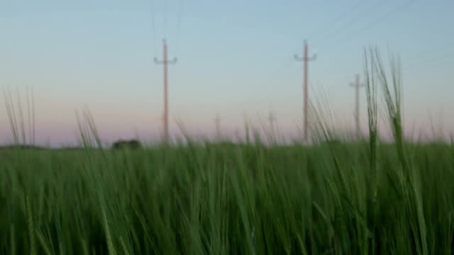 Wheat swaying in the wind video