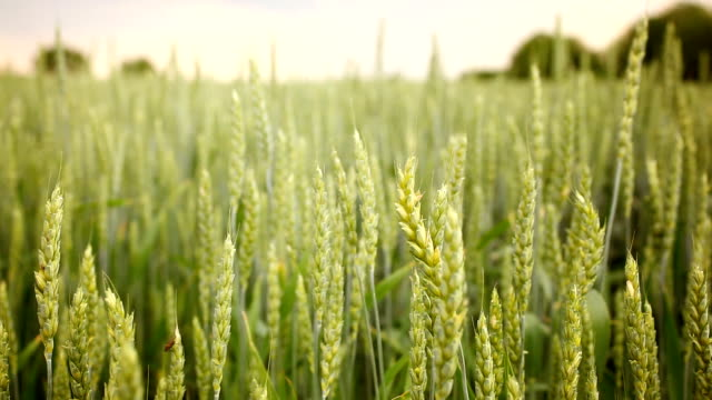 Wheat swinging in the wind video