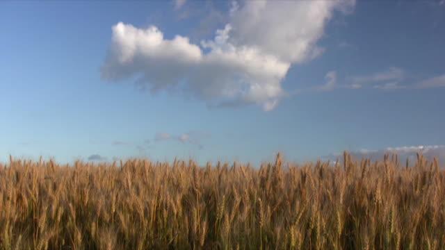 Weizen. – Video