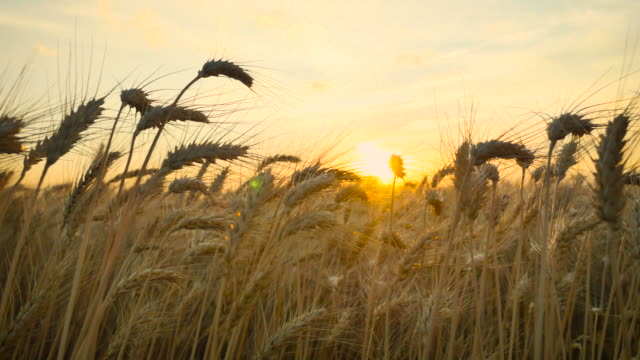 vídeos de stock e filmes b-roll de wheat_sunset_pan_4k - oats
