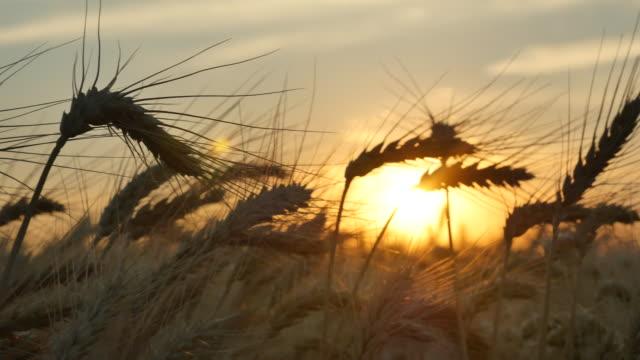 Wheat_Sunset_Panning_Sunset_4K video