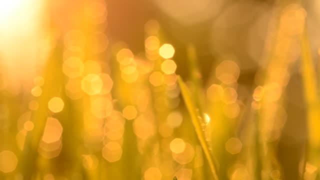 wheatgrass at sunset - intoning bildbanksvideor och videomaterial från bakom kulisserna