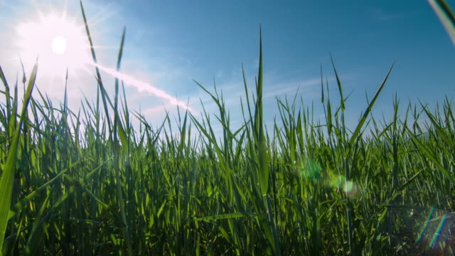 wheatgrass growing in the field 4K Video grass area stock videos & royalty-free footage