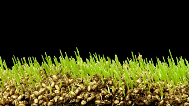 wheatgrass growing macro time lapse - grass stock videos & royalty-free footage