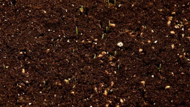 vídeos de stock, filmes e b-roll de lapso de tempo de crescente de clorofila close-up - gramado terra cultivada