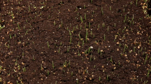 wheatgrass growing time lapse - gras stock-videos und b-roll-filmmaterial