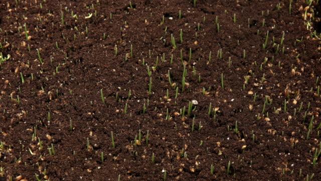 vídeos de stock e filmes b-roll de wheatgrass growing time lapse - relva
