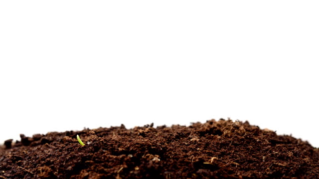 Wheatgrass Growing, Timelapse video